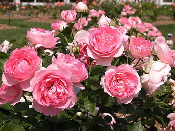 Nằm mơ thấy hoa hồng có điềm báo gì?