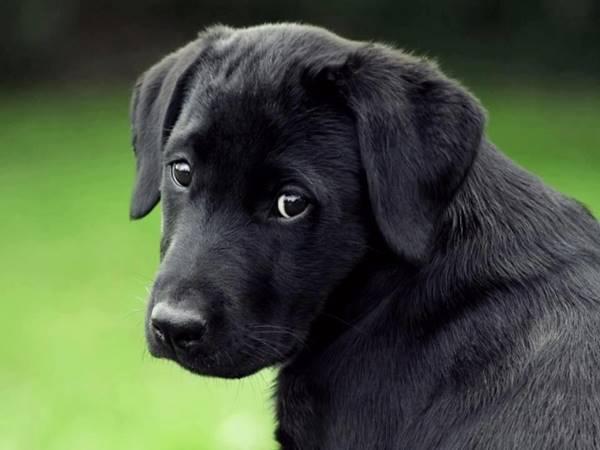 Mơ thấy chó đen là điềm báo gì, hên hay xui?
