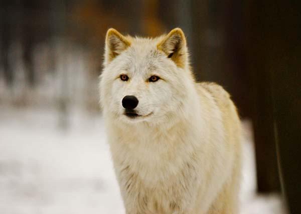Nằm mơ thấy con chó sói là điềm báo gì