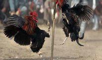 Tìm hiểu thông tin về các kèo đá gà online