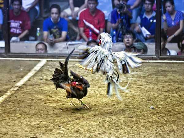 Xem xét bảng thành tích của gà chiến trước khi thi đấu